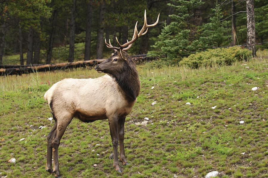 Forest Elk Photograph