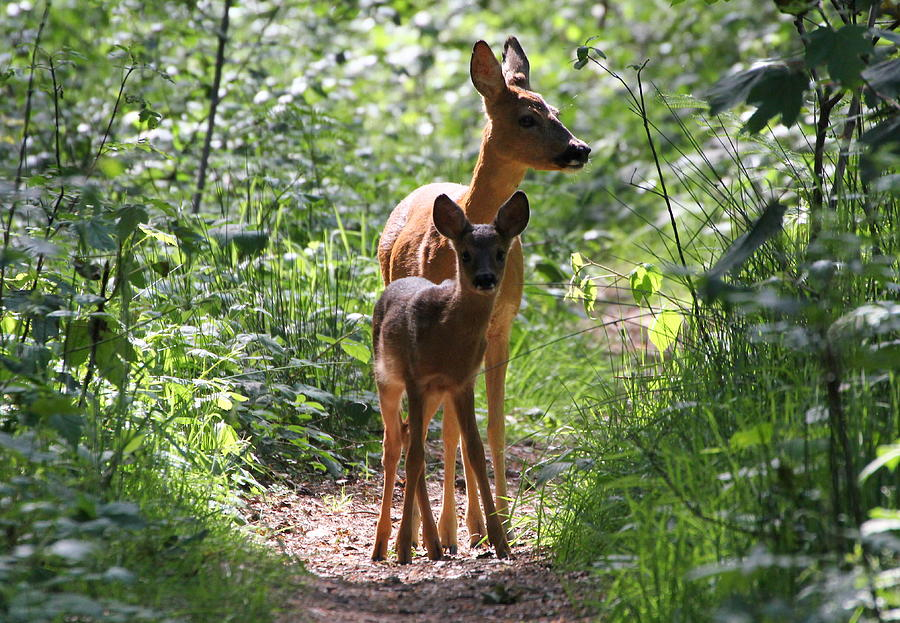 Forest Fawn Photograph by Ger Bosma