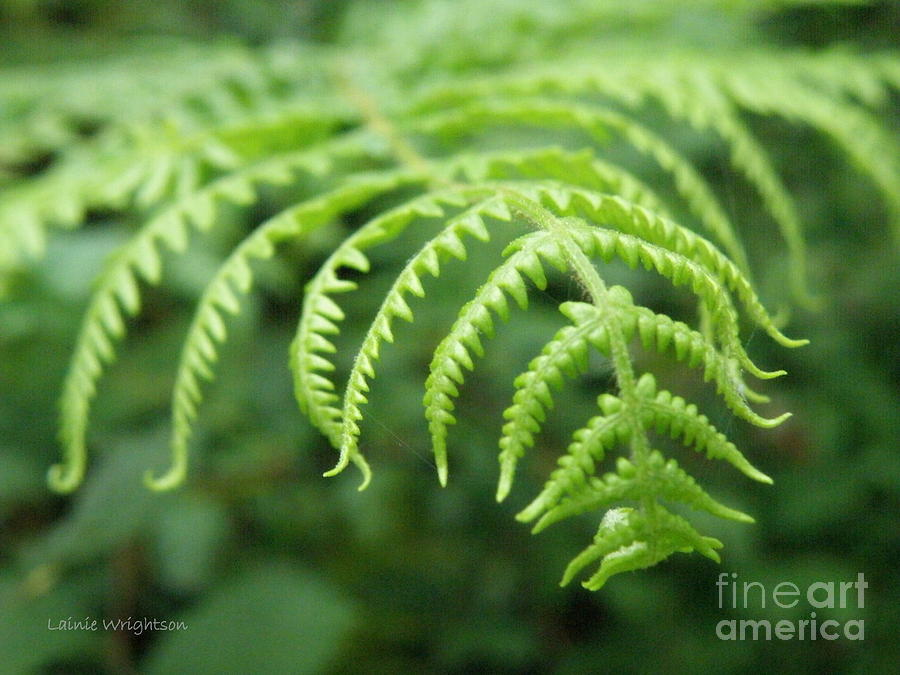 Fern Photograph - Forest Fern by Lainie Wrightson