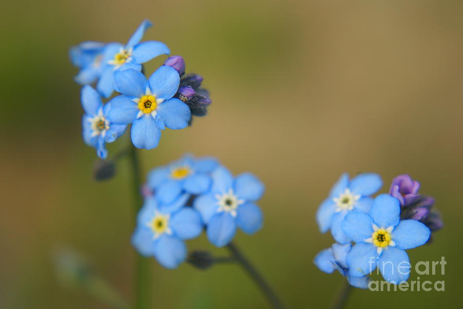 Blue Photograph - Forget Me Not 01 - S01r by Variance Collections