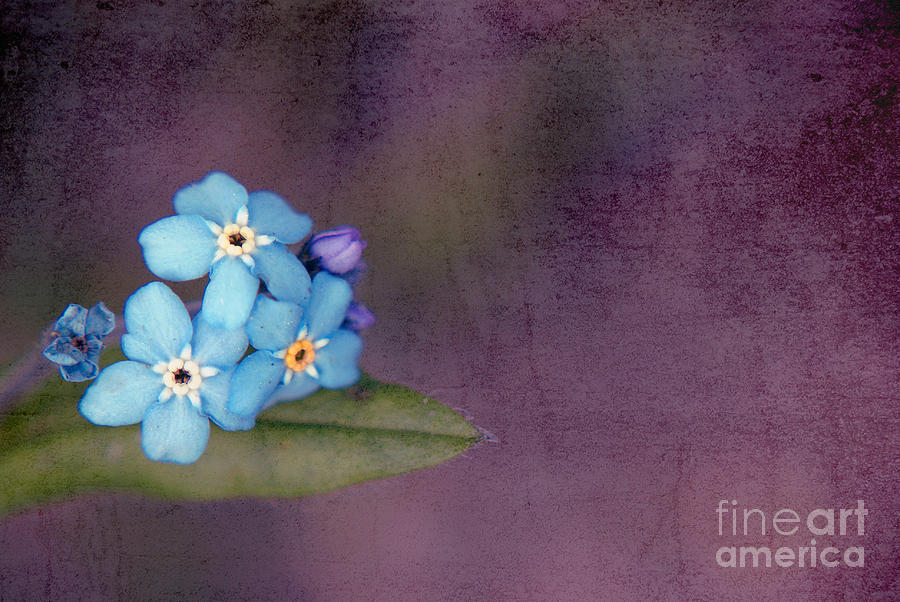 Flowers Photograph - Forget Me Not 02 - S0304bt02b by Variance Collections
