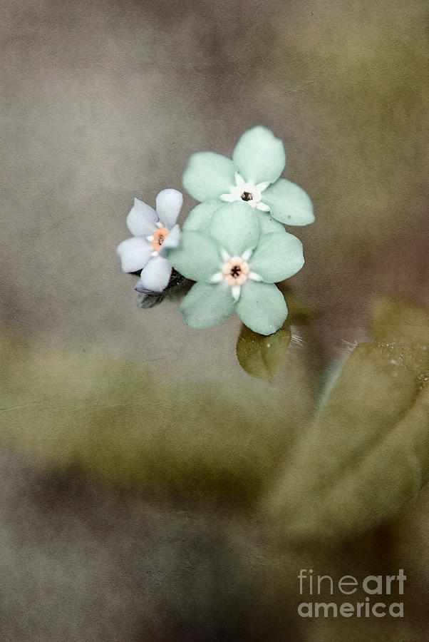 Flowers Photograph - Forget Me Not 03 - S07bt07 by Variance Collections