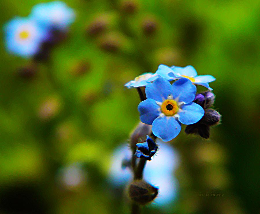 Nature Photograph - Forget Me Not Bloom by Chris Berry