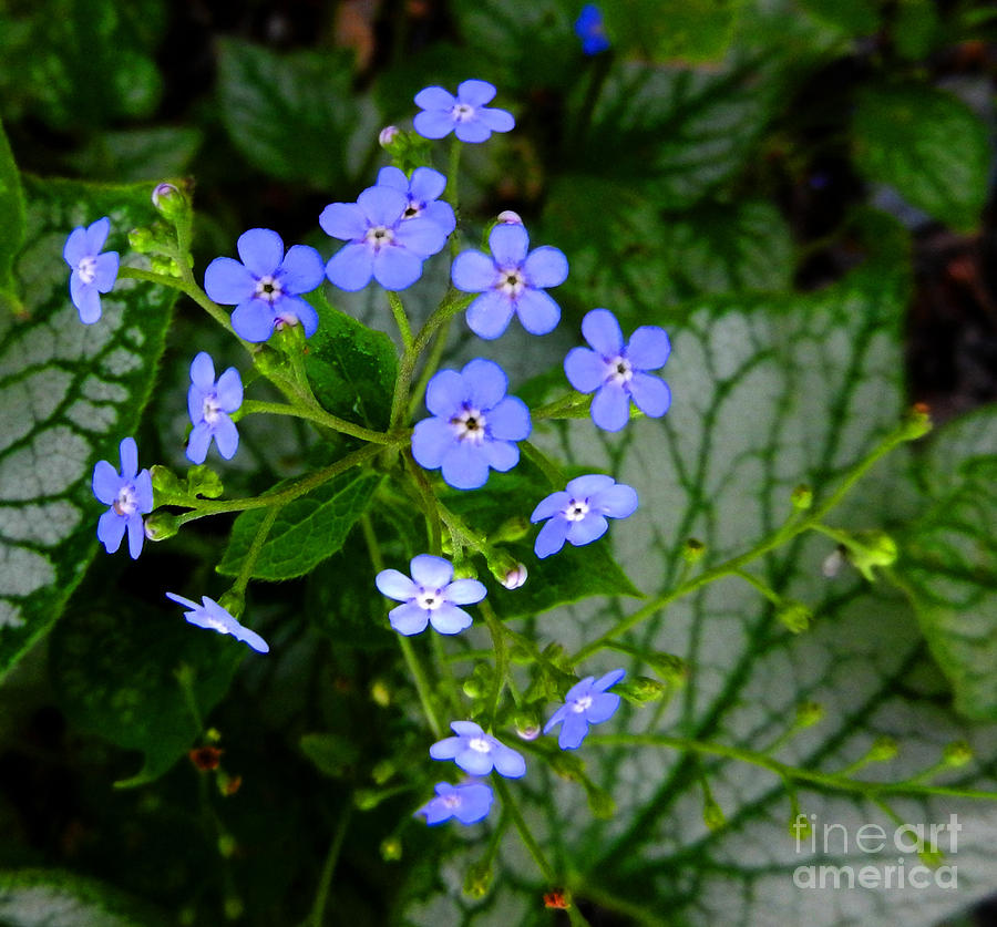 Flowers Photograph - Forget-me-not by Marcia Nichols