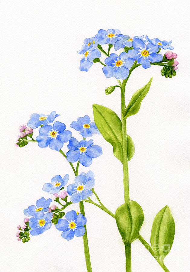 Forget Me Nots Painting - Forget-me-nots On White by Sharon Freeman
