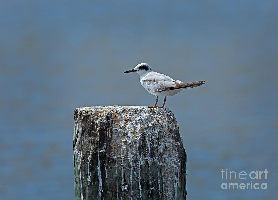 Tern Photograph - Forsters Tern by Louise Heusinkveld