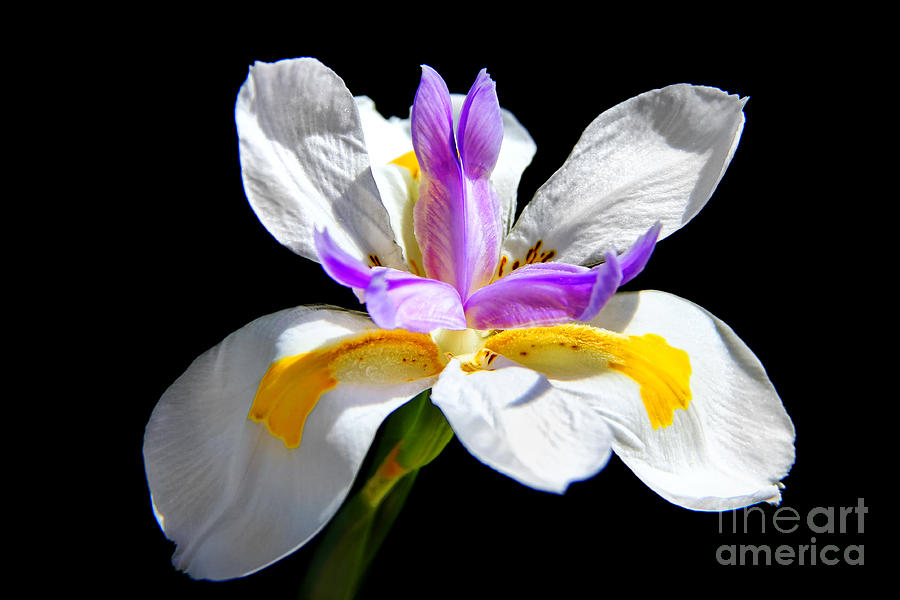Lily Photograph - Fortnight Lily by Mariola Bitner
