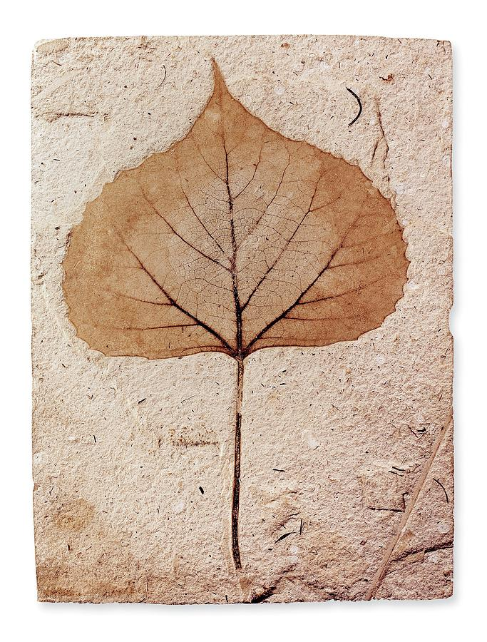 Baden Photograph - Fossil Leaf by Natural History Museum, London/science Photo Library