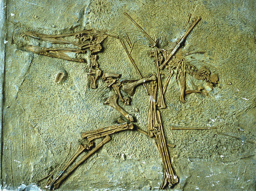 Pterodactyl Photograph - Fossil Remains Of The Pterodactyl by Sinclair Stammers/science Photo Library.