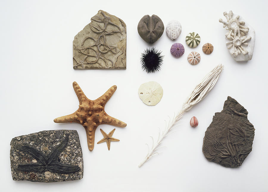 Animal Photograph - Fossilised And Modern Echinoderms by Dorling Kindersley/uig