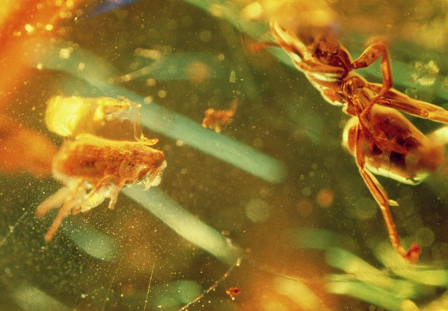 Insect Photograph - Fossilised Flea In Amber by K. H. Kjeldsen/science Photo Library