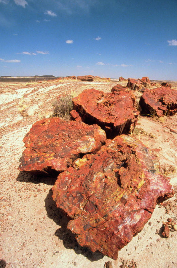 Petrified Forest National Park Photograph - Fossilised Trees In Petrified Forest National Park by Tony Craddock/science Photo Library