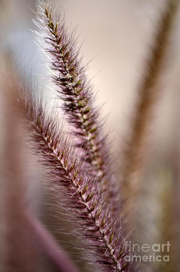 Fountain Grass Photograph - Fountain Grass by Deb Halloran