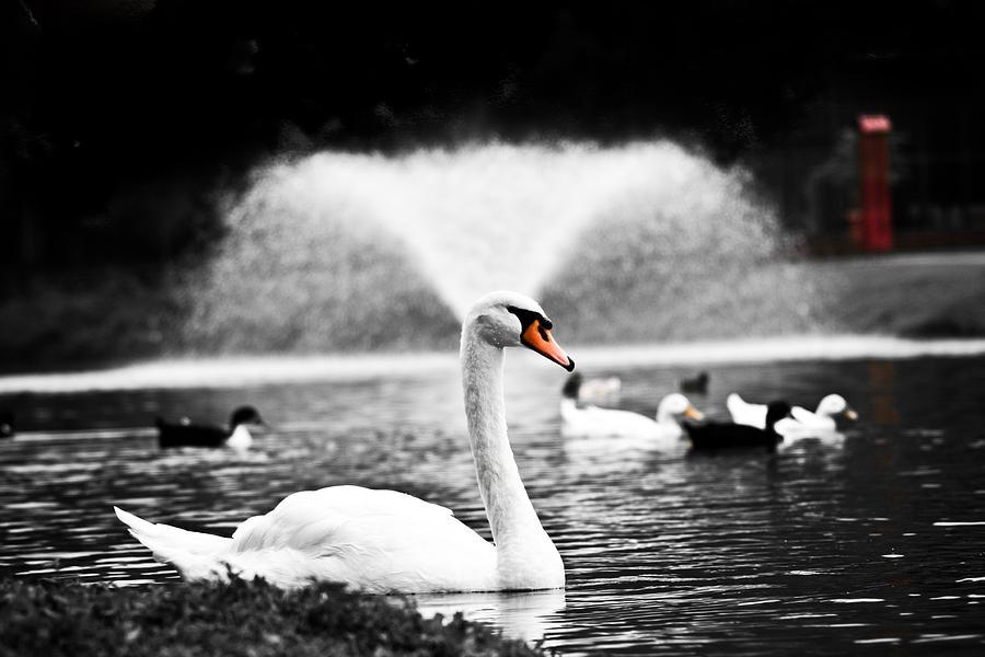 Swan Photograph - Fountain Swan by Shane Holsclaw