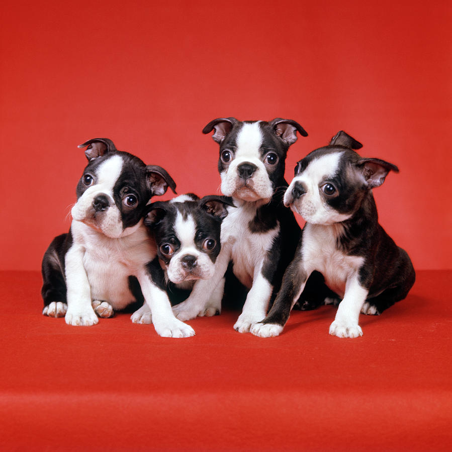 Four Boston Terrier Puppies On Red Photograph By Vintage Images