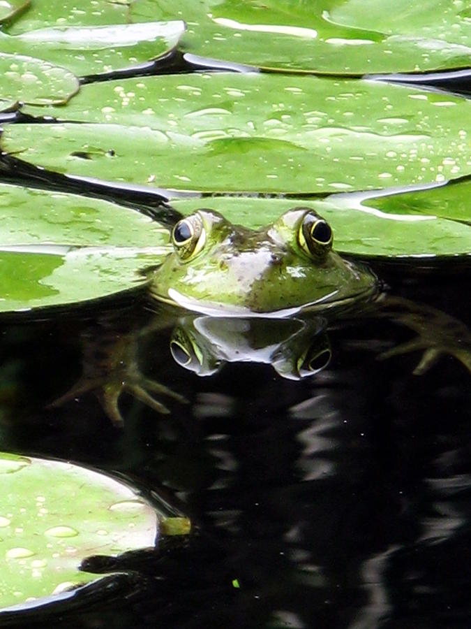 Frog Photograph - Four Eyed Frog by Darryl  Kravitz
