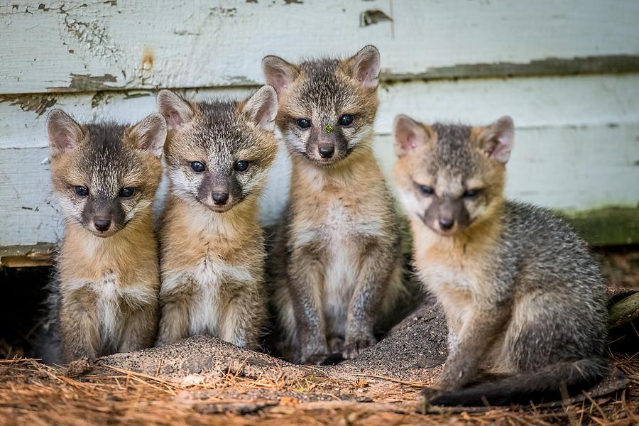 Fox Photograph - Four Fox Kits by Paul Freidlund