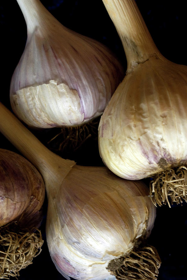Four Garlic Bulbs With Stems And Roots Photograph by Rebecca E Marvil