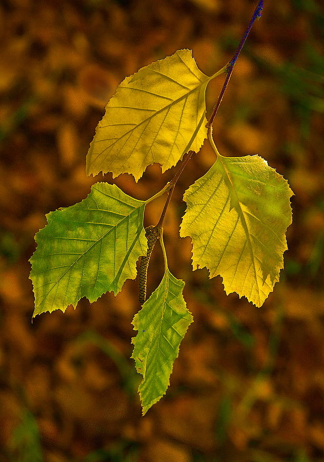 Fall Photograph - Four Leaves In Light by Viktor Savchenko