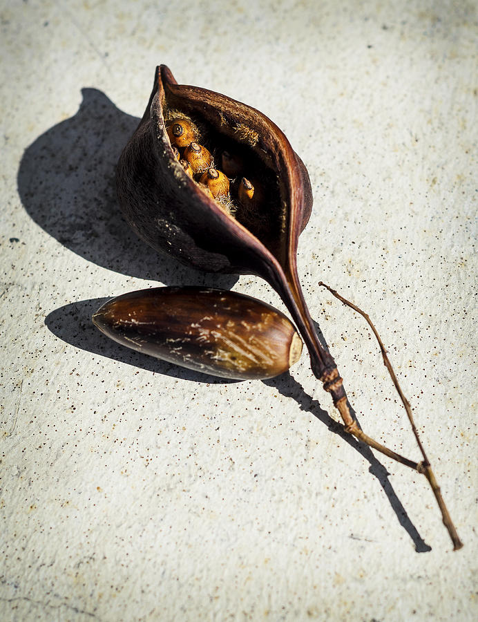 Seed Photograph - Four Seeds In A Pod by Camille Lopez