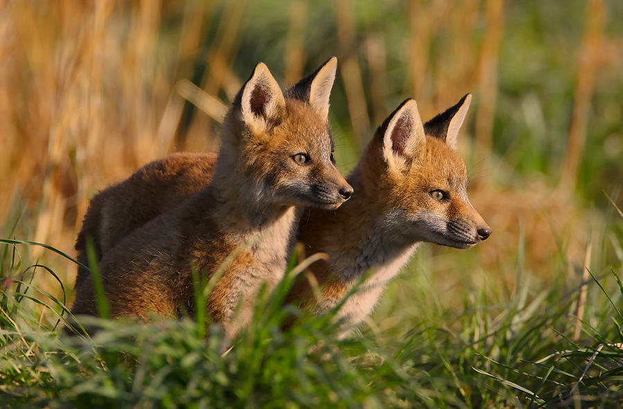 Fox Photograph - Fox Cubs At Sunrise by William Jobes