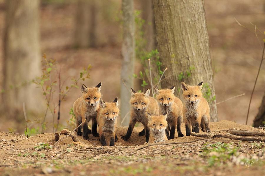 Fox Photograph - Fox Family Portrait by Everet Regal