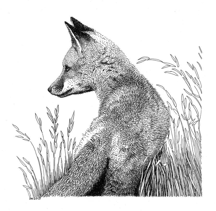 Fox In Grass Drawing By Scott Woyak