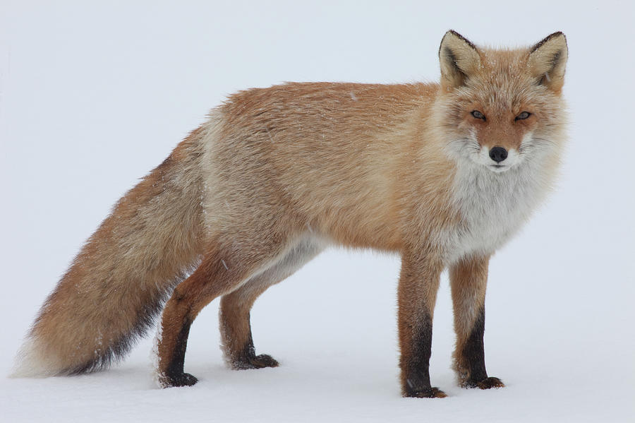 Fox In Snow Field Photograph by Ichiro