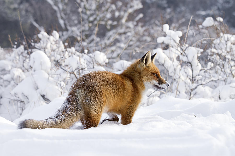 Canidae Photograph - Fox In The Snow by Roeselien Raimond