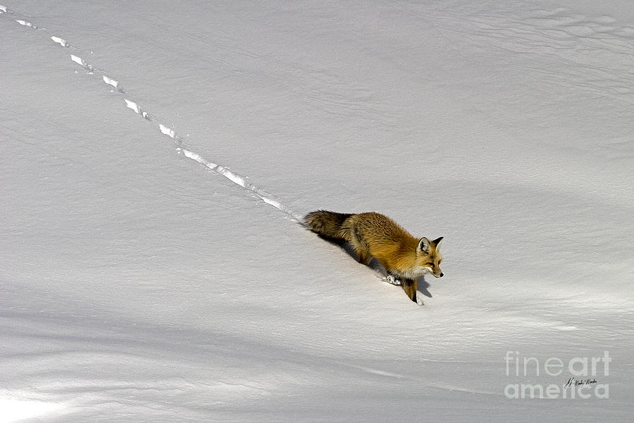 Vulpes Vulpes Photograph - Fox In The Snow-signed by J L Woody Wooden