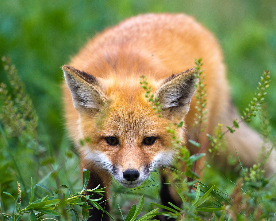 Animal Photograph - Fox Kit Hiding In The Grass by Merle Ann Loman