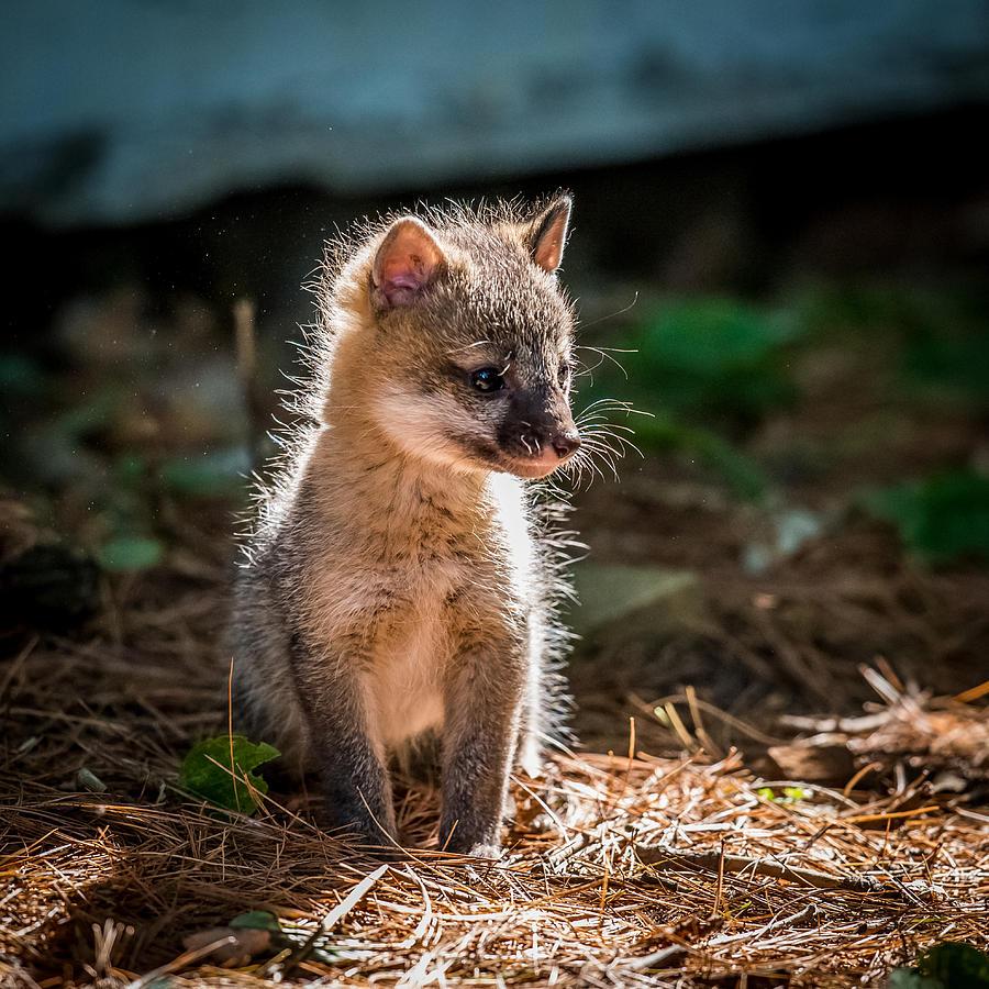 Fox Photograph - Fox Kit by Paul Freidlund