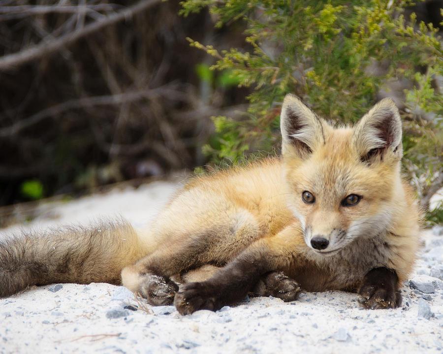 Posing Photograph - Fox Kit Posing by Vicki Jauron