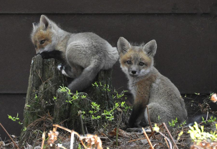 Fox Photograph - Fox Kit Siblings by RJ Martens