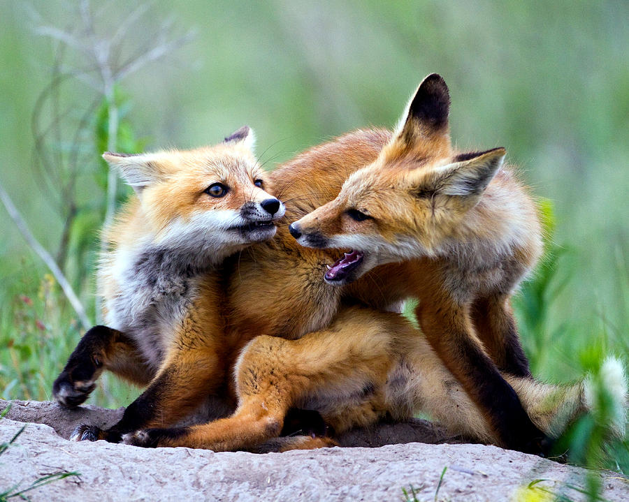 Canidae Photograph - Fox Kits At Play - An Exercise In Dominance by Merle Ann Loman