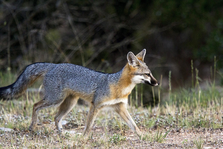 Fox Photograph - Fox On The Move by Dana Moyer