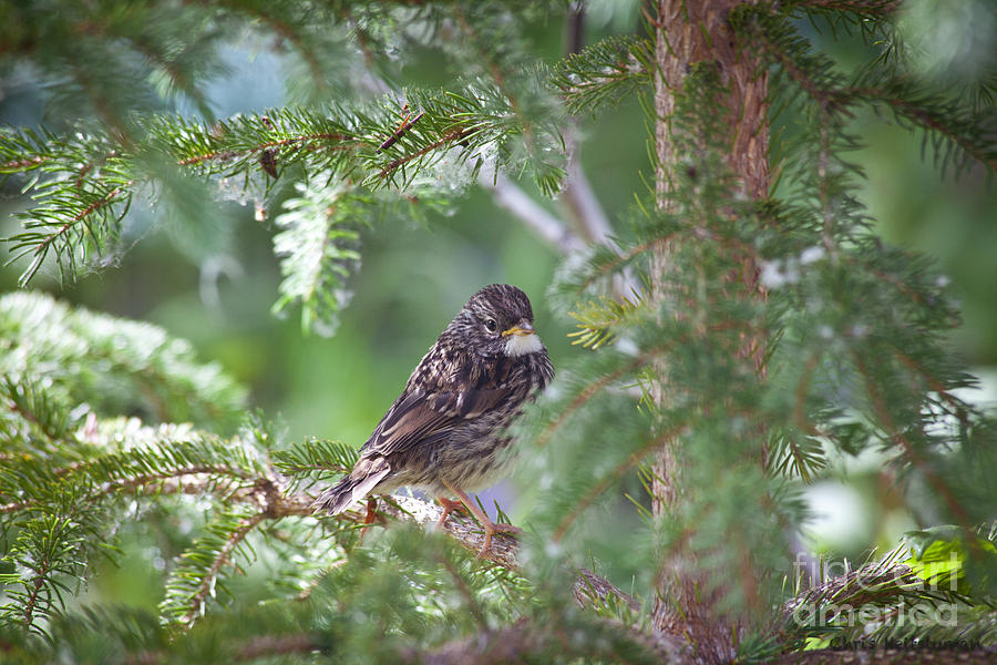 Alaska Photograph - Fox Sparrow Juvenile by Chris Heitstuman