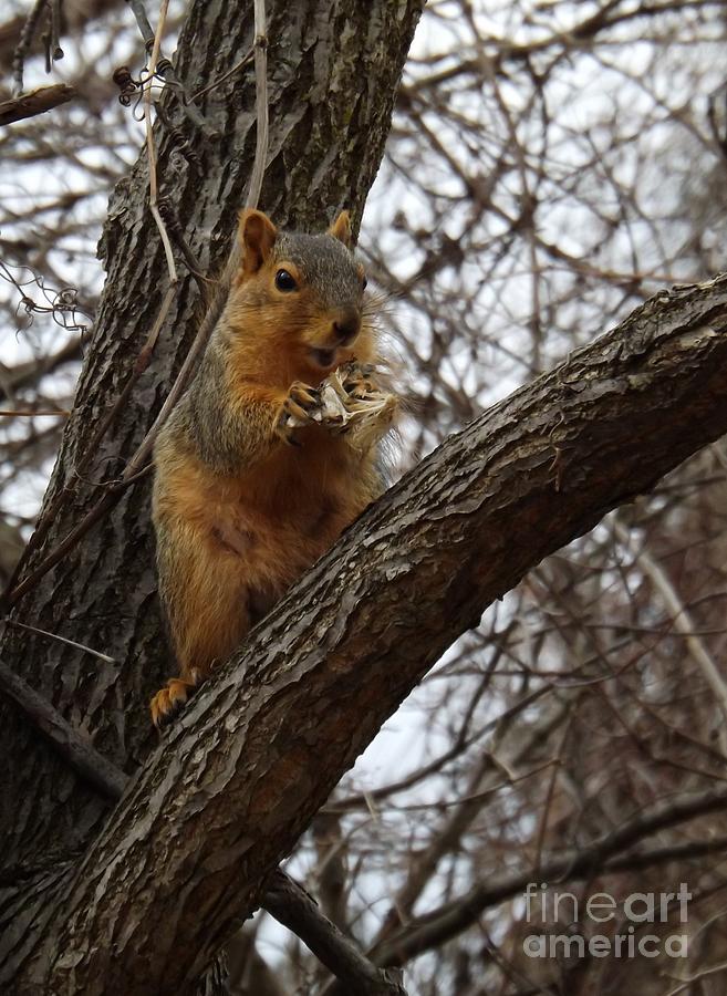 Fox Photograph - Fox Squirrel 1 by Sara  Raber