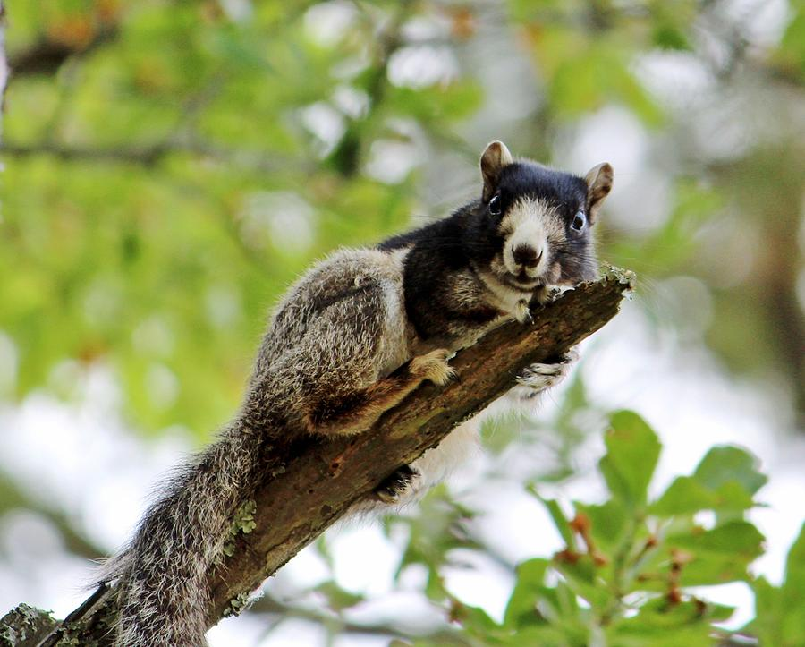 Fox Squirrel Photograph - Fox Squirrel by Cynthia Guinn