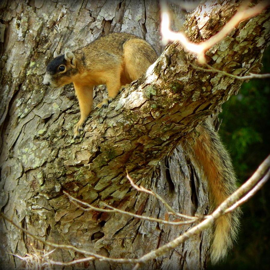 Fox Squirrel Photograph - Fox Squirrel IIi by Lynn Griffin