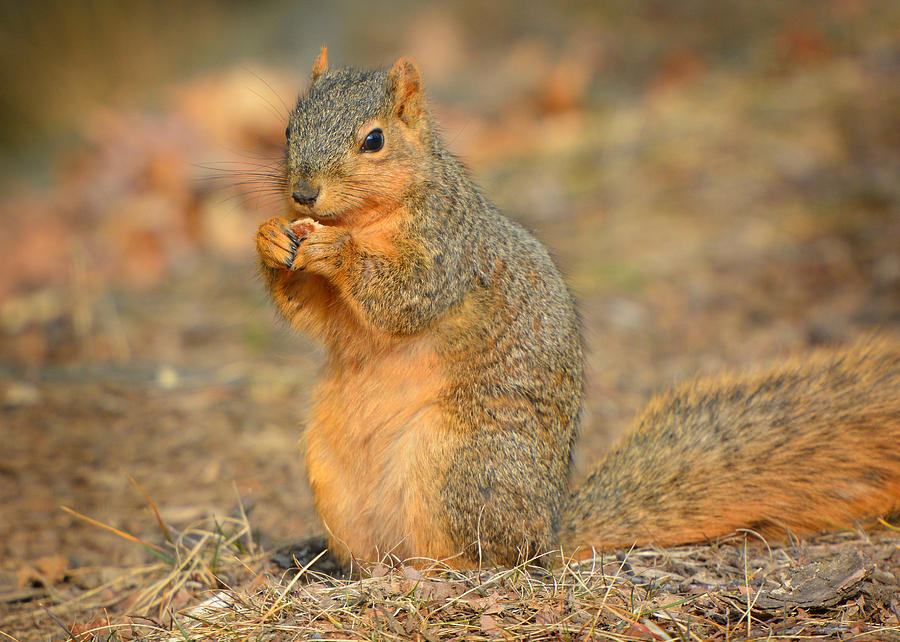 Fox Squirrel in Warm Light by Dylan Lees
