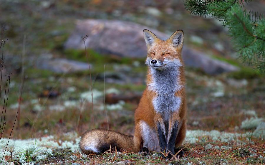 Canada Photograph - Fox Zen - Algonquin Park by Jim Cumming