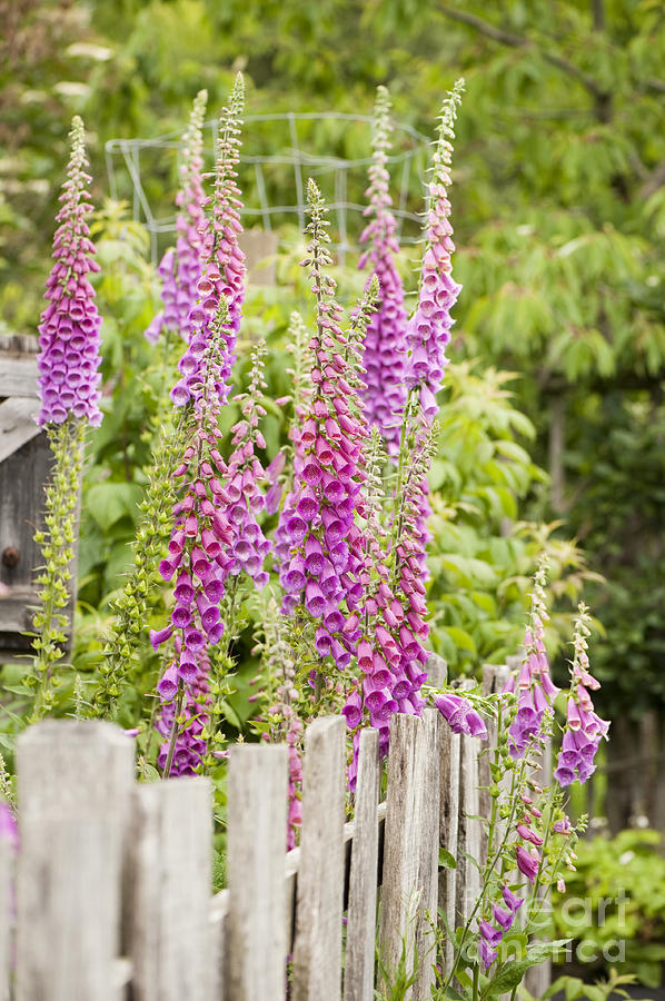 Foxglove Photograph - Foxglove Fence by Anne Gilbert