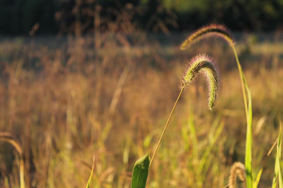 Foxtail Grass Photograph - Foxtail Grass - Indian Summer by Annette Gendler
