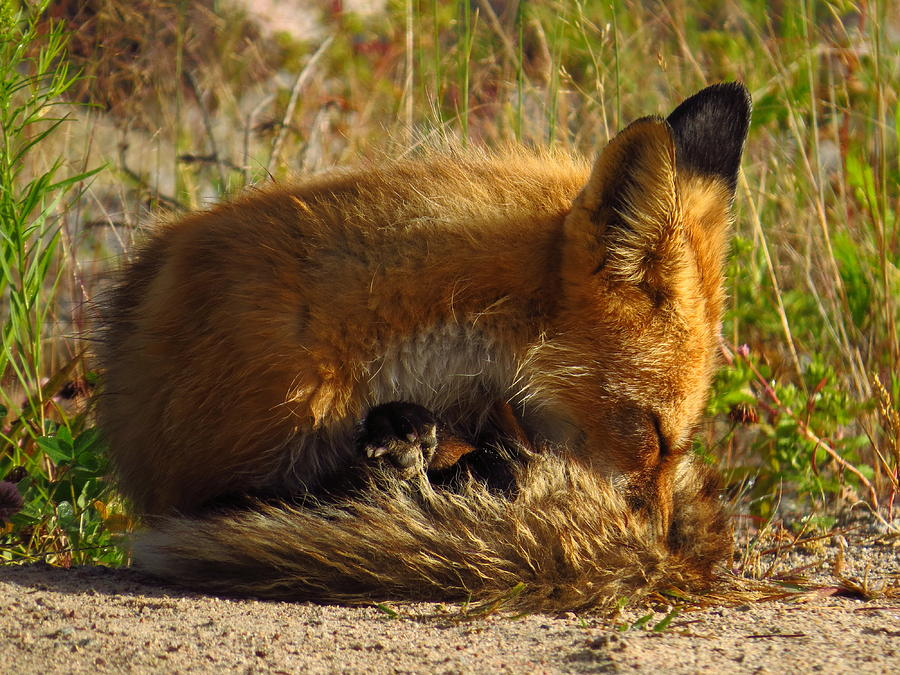 Foxy Naptime Photograph by Alex  Call