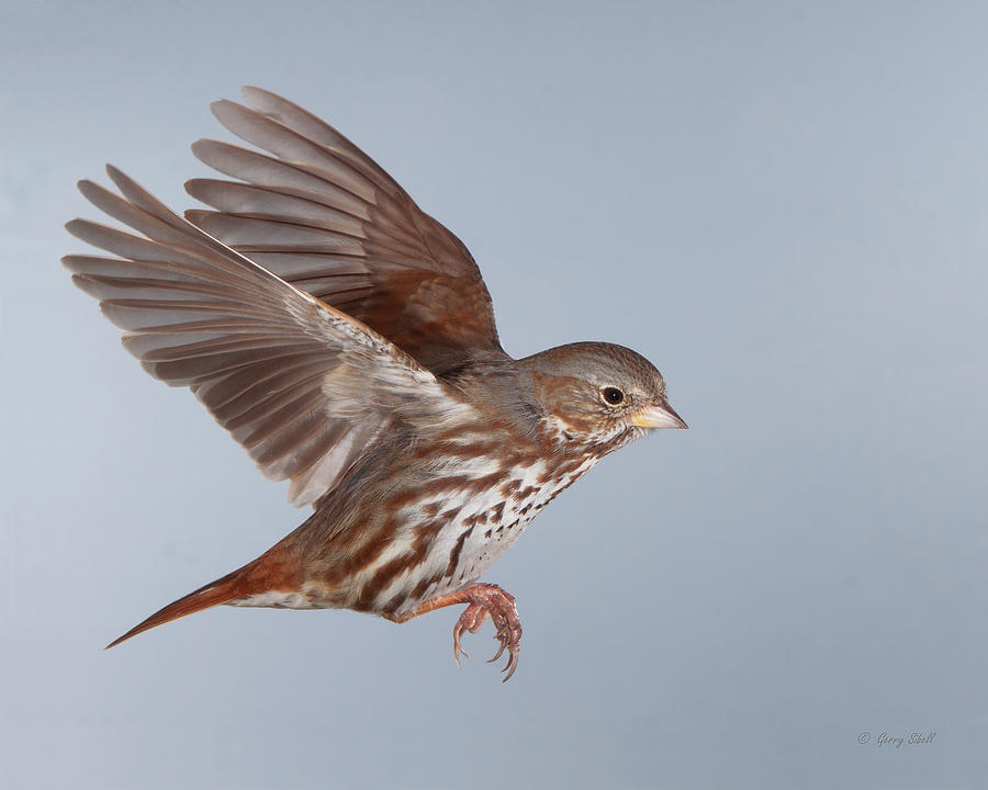 Nature Photograph - Foxy The Sparrow by Gerry Sibell