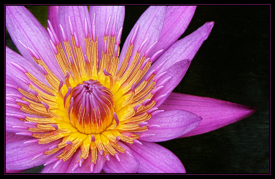 Lotus Photograph - Fragile Beauty by Kim Andelkovic