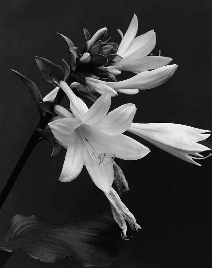 Fragrant Plantain Lily Photograph by J. Horace McFarland