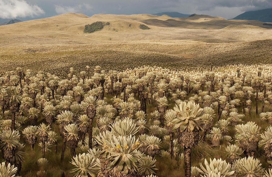 Biosphere Photograph - Frailejones, Espeletia Pycnophylla by Pete Oxford
