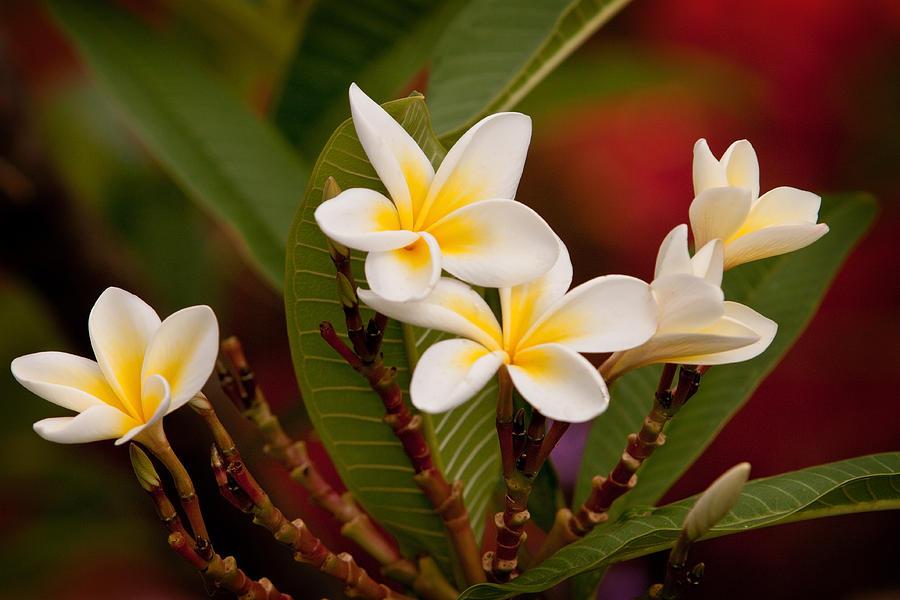 Lemon Photograph - Frangipani - Plumeria by Michelle Wrighton